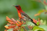 Sunbird, Crimson (male) @ MOG