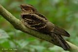 Nightjar, Large-tailed @ Hindhede