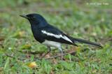 Robin, Magpie (male) @ Botanic Gardens