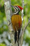Goldenback, Common (male) @ Botanic Gardens
