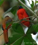 Trogon, Scarlet-rumped (pair)