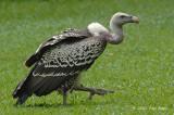 Vulture, Ruppel's @ Jurong Bird Park