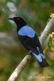 Bluebird, Asian Fairy (male) @ Tahan Hide