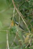 Flycatcher, Mugimaki (male) @ Jelai Resort