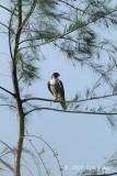 Falcon, Perigrine @ Changi