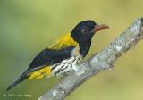 Oriole Dark-throated (male)