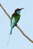 Bee-eater, blue-throated @ Danum Valley Field Centre