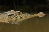 Crocodile, Saltwater @ Menanggol River