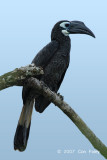 Hornbill, Bushy-crested (male) @ Kinabatangan River