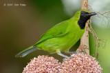 Leafbird, Lesser-green (male) @ Danum Valley