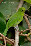 Leafbird, Lesser Green (female) @ Danum Valley