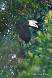 Hornbill, Black (male)