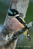 Broadbill, Black-and-yellow (female)