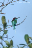 Bee-eater, Blue-throated