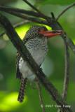 Kingfisher, Banded (female)