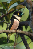 Broadbill, Black-and-yellow (male - singing)