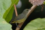 Flowerpecker, Yellow-rumped (female) @ Danum Valley