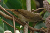 Bulbul, Spectacled @ Danum Valley