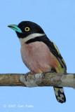 Broadbill, Black-and-yellow (female)