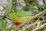 Leafbird, Orange-bellied (female) @ Jelai Resort