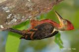 Woodpecker, Orange-backed (male)