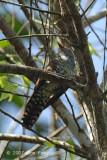 Cuckoo, Violet (female)