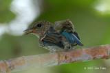 Flycatcher, Pale Blue (juvenile)