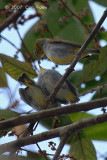 White-eye, Everett's @ The Old Road