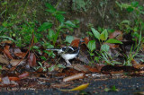 Forktail, Chestnut-naped (male) @ The Old Road