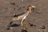 Heron, Chinese Pond (breeding) @ Katib Bongsu