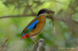 Pitta, Mangrove @ Pulau Ubin