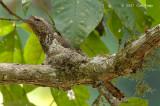 Frogmouth, Blyth's (male) @ Bukit Rengit