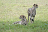 Cheetah (brothers) @ Phinda Private Game Reserve
