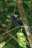 Cuckooshrike, Lesser (male) @ Panti