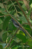 Cuckooshrike, Lesser (male)