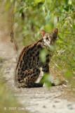 Asian Leopard Cat @ Kuala Gula