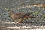 Dove, Barred Cuckoo (female) @ Cameron Highlands