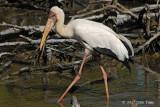 Stork, Milky @ Kuala Gula