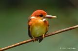 Kingfisher, Oriental Dwarf (juvenile) @ Temenggor Lake