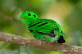 Broadbill, Green (male)