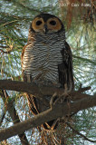 Owl, Spotted Wood (adult) @ Japanese Gardens