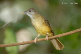 Bulbul, Grey-cheeked @ Camping Grounds