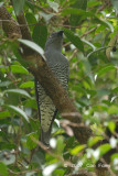 Cuckooshrike, Bar-bellied (female) @ Mutiara