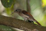Philentoma, Rufuos-winged (female) @ Camping Grounds