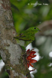 Broadbill, Green @ Teresek Trail