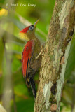 Woodpecker, Crimson-winged (female) @ Camping Grounds