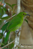 Leafbird, Greater Green (female) @ Tahan Hide