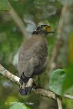 Eagle, Crested Serpent