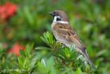Sparrow, Tree @ Botanic Gardens