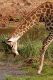 Giraffe, Southern